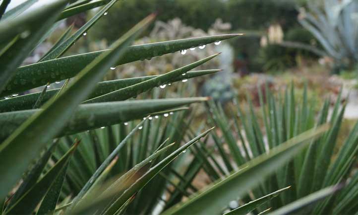 Yucca aloifolia leaves