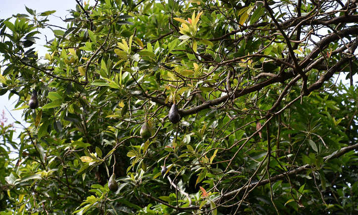 Avocado branch structure