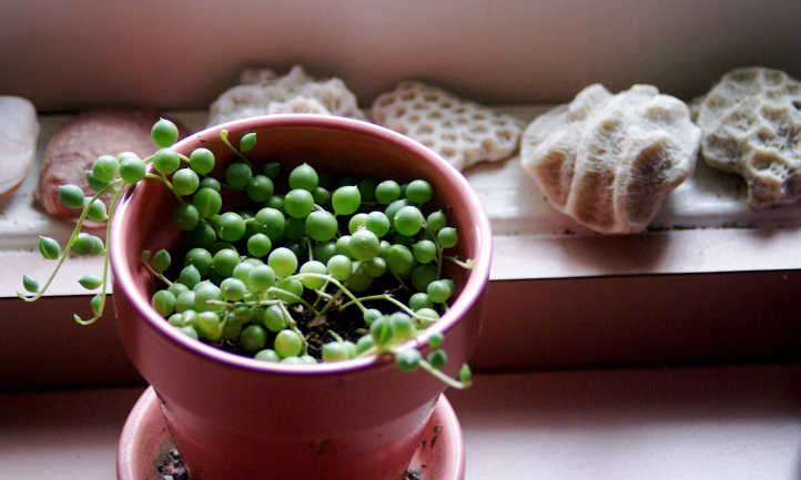 How To Propagate String Of Pearls