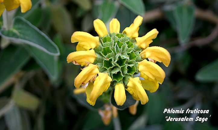 Close-up of the Jerusalem Sage flower