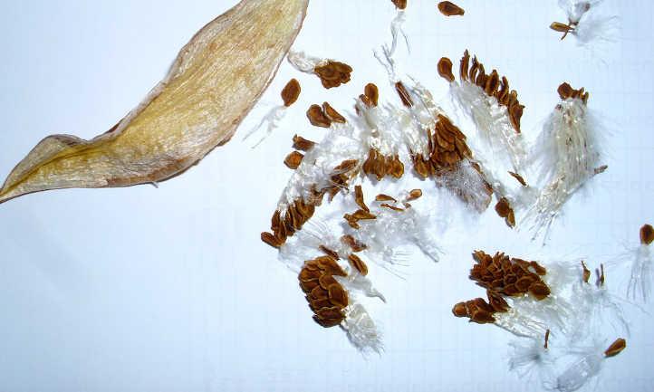 Orbea variegata seeds and pod
