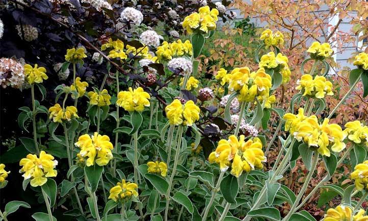 Phlomis fruticosa with bright yellow blooms