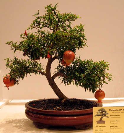 Pomegranate tree bonsai