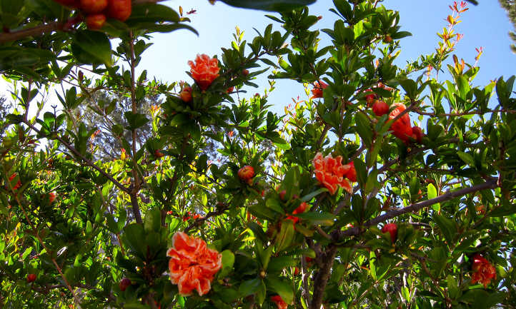 Pomegranate tree in flower