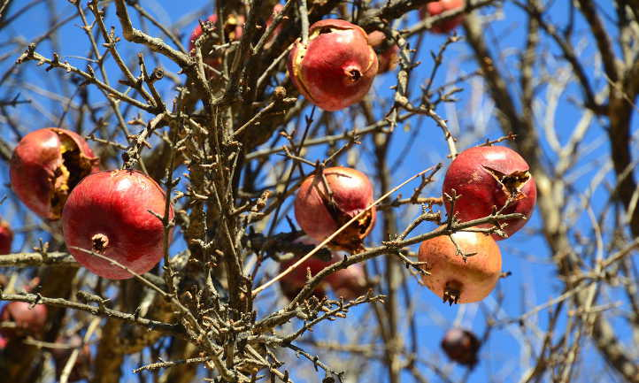 Pomegranates with bird damage