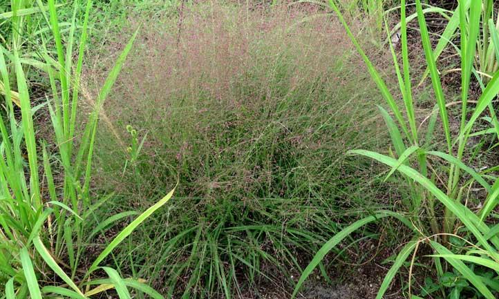 Purple lovegrass in the wild