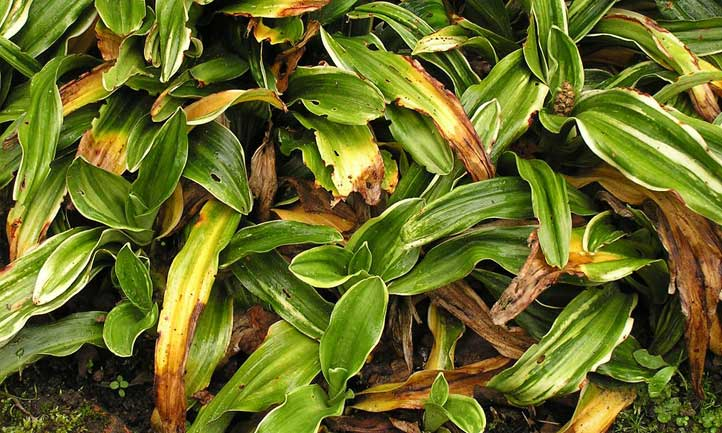 The clumped foliage of the sacred lily