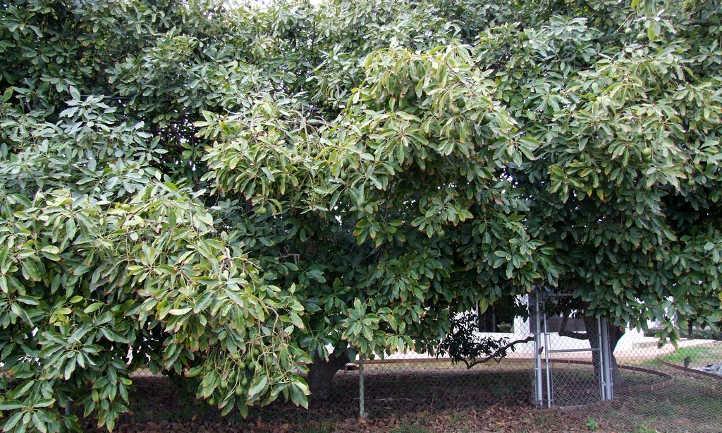 Three avocado trees