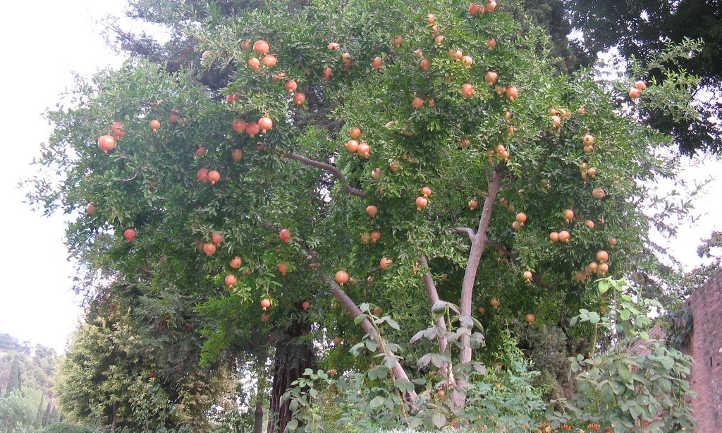 Three trunked pomegranate tree