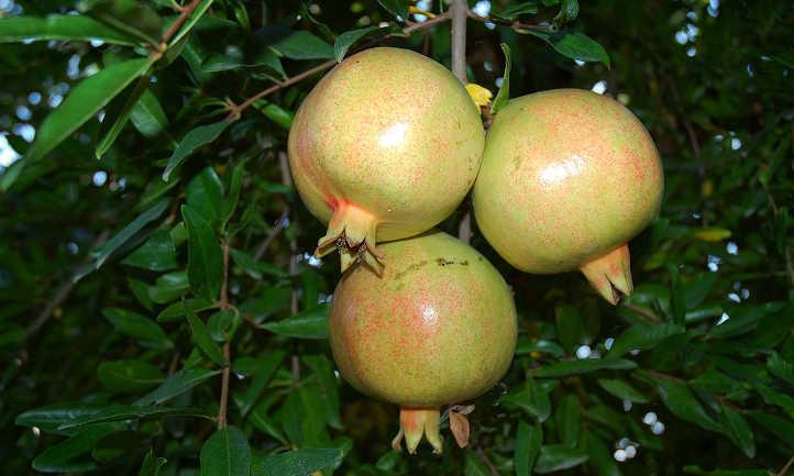 Unripe cluster on pomegranate tree