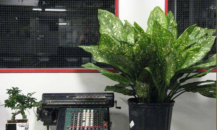 Dumbcane plant hanging out next to a typewriter