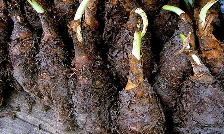 Corms of Colocasia esculenta ready for planting