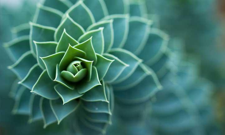 Close-up of Euphorbia myrsinites
