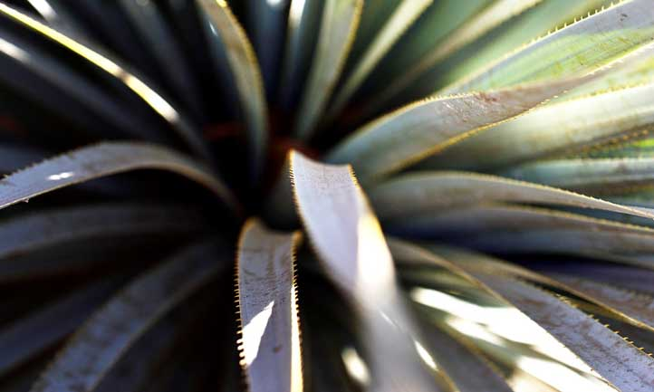 Close up of Dasylirion wheeleri leaves