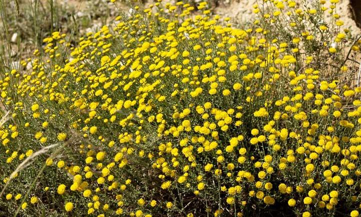 Cotton lavender in a natural xeriscape habitat