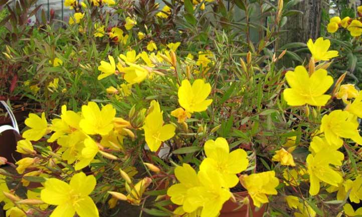 A carpet of Oenothera fruticosa evening primrose in the garden.