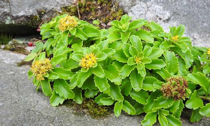 Orange stonecrop on a garden border