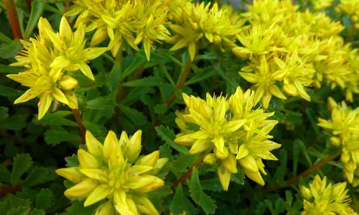Sedum kamtschaticum succulent spreading out