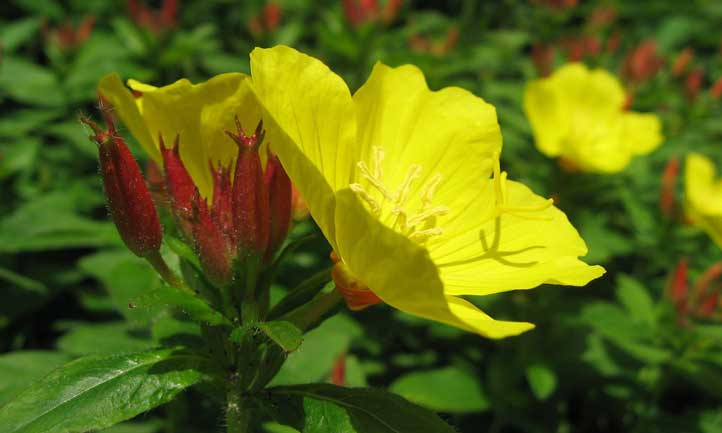 Gorgeous yellow cup-shaped leaves