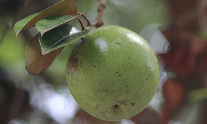 Closeup of star apple fruit and leaves
