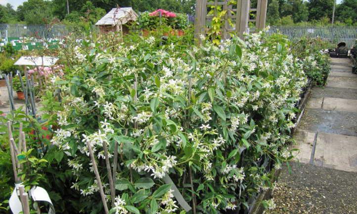 Confederate jasmine in nursery pots
