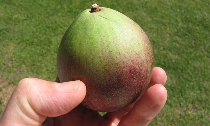 Harvested star apple fruit