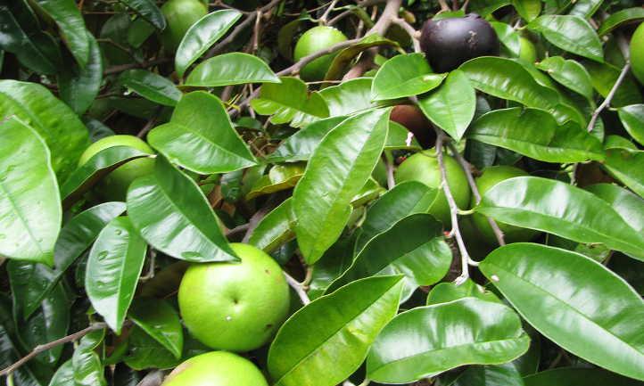 Ripe and unripe Chrysophyllum cainito fruit