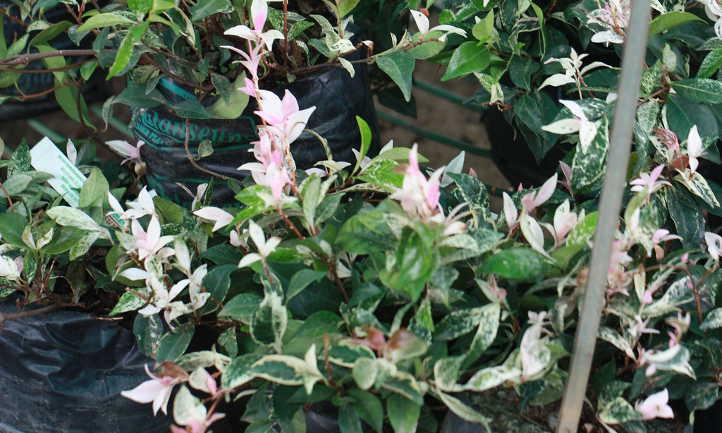 Star jasmine Chameleon cultivar