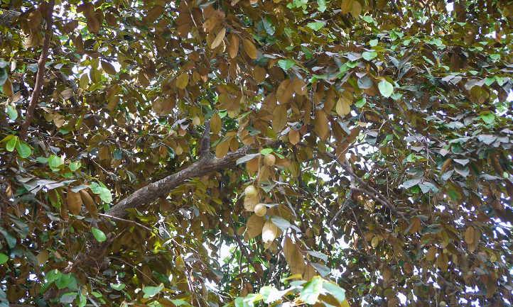 Underside of star apple foliage