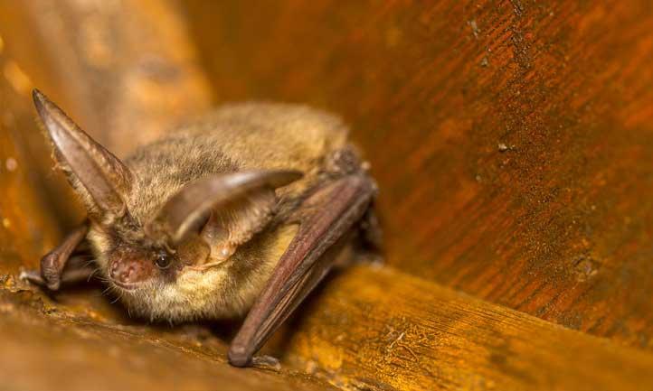 A cute little long-eared bat