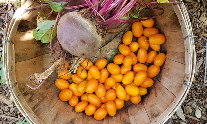 Citrus japonica harvest