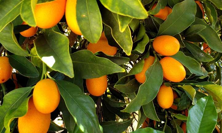 Kumquat tree flush with fruit