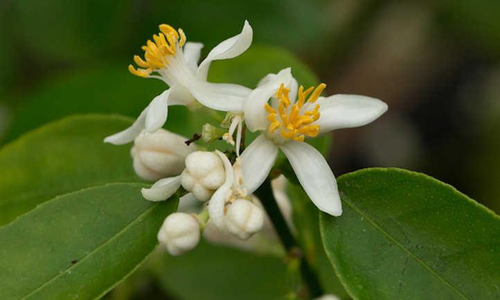 Citrus aurantifolia flower
