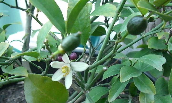 Immature Meyer lemons on tree