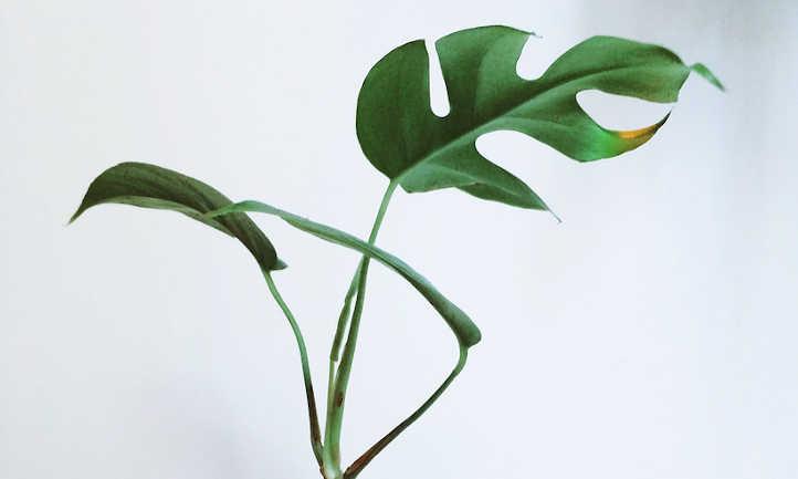 Young raphidophora tetrasperma plant