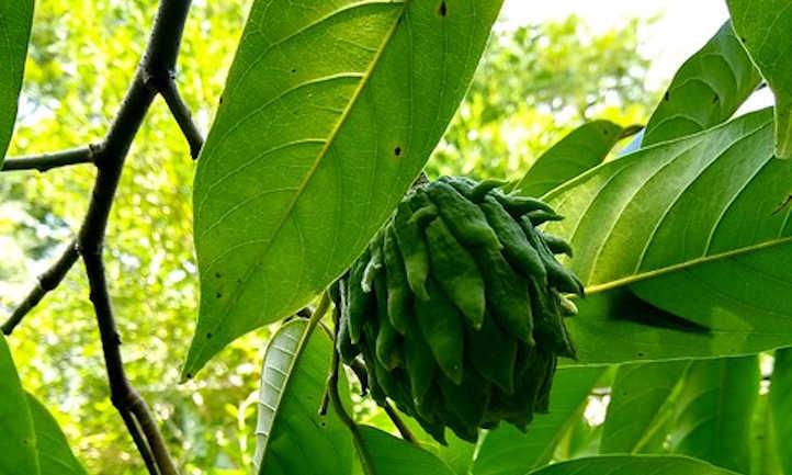 Atemoya tree