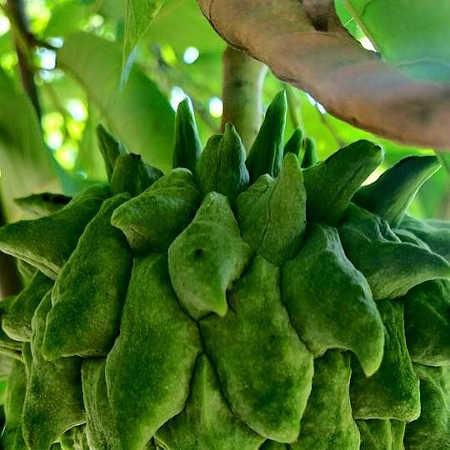 Closeup of unripe atemoya fruit