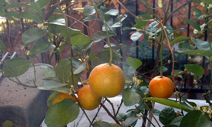 Container grown clementines