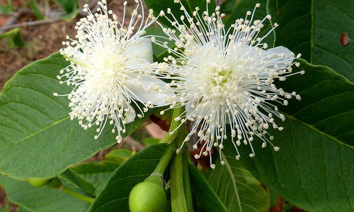Guava flowers