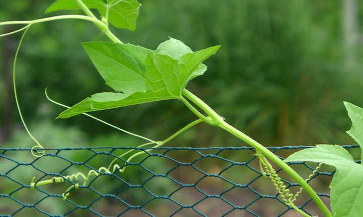 Pruning cucumbers