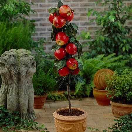 Red columnar apple