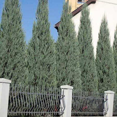 Skyrocket juniper