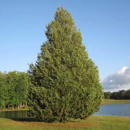 Brodie eastern red cedar