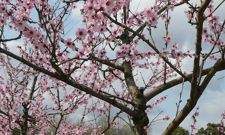 Almond branch closeup
