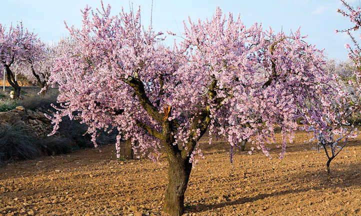 Almond tree in flower