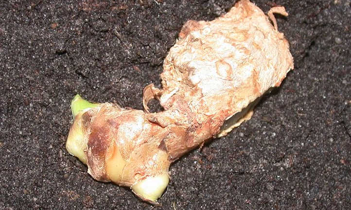 Budding ginger root