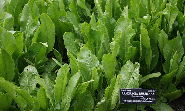 Healthy horseradish plants
