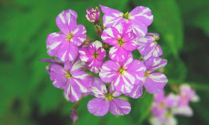 Multicolored dames rocket flowers