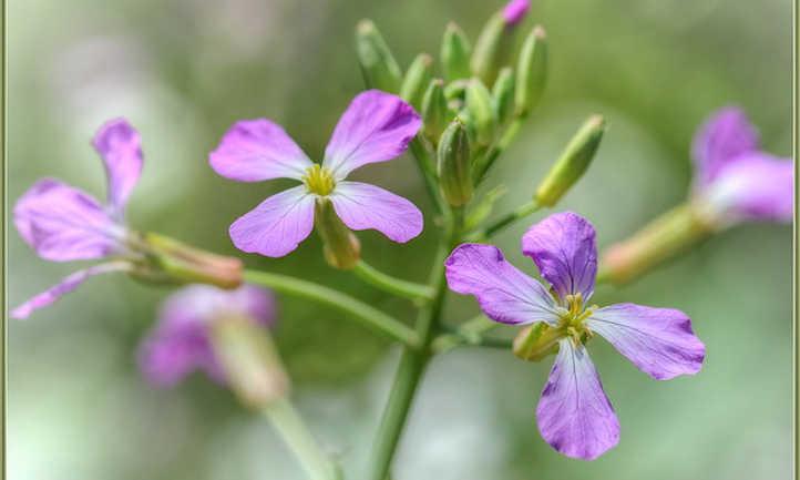 Purple dames rocket flowers