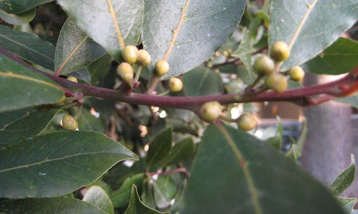Unripe bay laurel berries